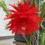 クジャクサボテン 花