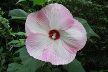 アメリカフヨウ 花
